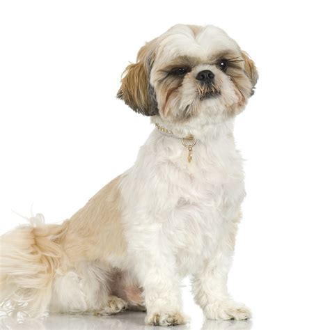 shih tzu tears shih tzu tear stains how to target shih tzu tear stains effectively