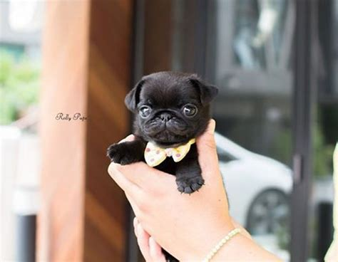 black teacup pug best 25 black pug puppies ideas on