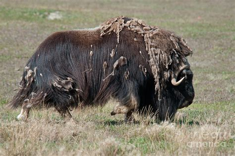 Shedding Winter by Muskox Shedding Winter Coat Photograph By Newman