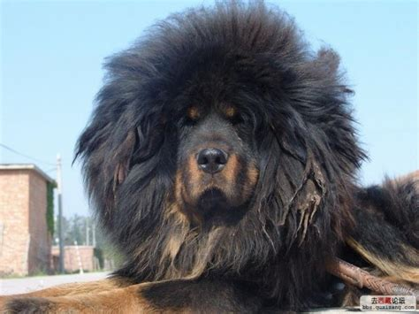 tibetan mastiff puppy tibetan mastiff puppies for sale jimmy 1 435 dogs for sale price of puppies