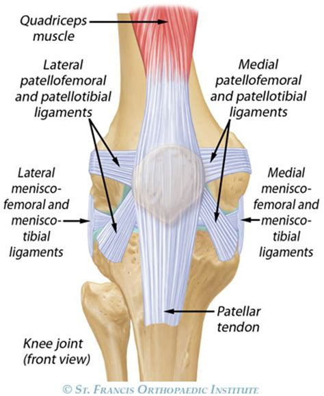 knee tendon diagram human anatomy diagram articular cartilage injury
