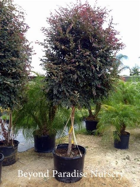 Ideas For A Backyard Loropetalum Tree Form Backyard Landscaping Pinterest