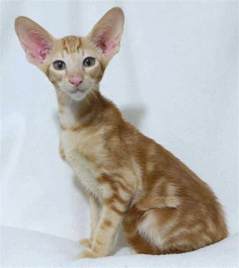 Peluru Mimis Mimis Silver Point Pe394 1000 images about le chat on bengal cats