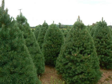 best 28 christmas tree farms in southeast michigan