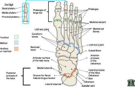 foot diagram foot anatomy diagram achilla tendon foot