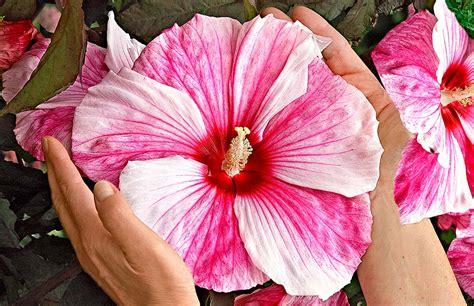 ibisco fiori ibisco guida alla coltivazione propagazione e cure