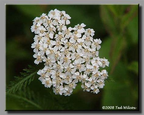 yarrow milfoil achillea millefolium 100 yarrow milfoil