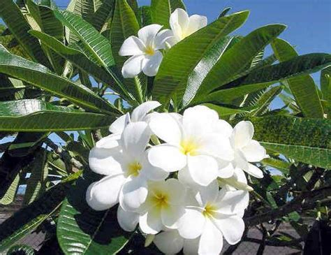 frangipani fiore piante da vaso plumeria acutifolia frangipane frangipani