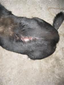 флегмон у собак фото