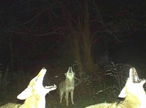 hd trailcam pictures of wolves in winter animal pictures by trail cameras thechive