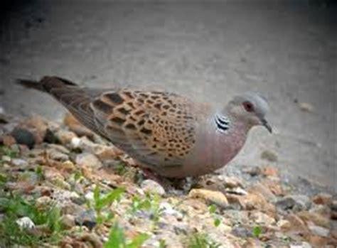 Harga Pakan Burung Tekukur kebiasaan hidup burung perkutut dihutan liar situs ayam