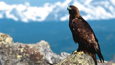 cool eagle wallpaper eagle wallpaper 1080p hd i hd images