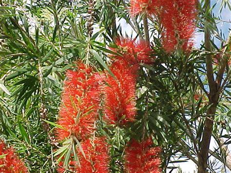 Diseases Of Banana Plants - bottle brush tree callistemon rigidus and other species