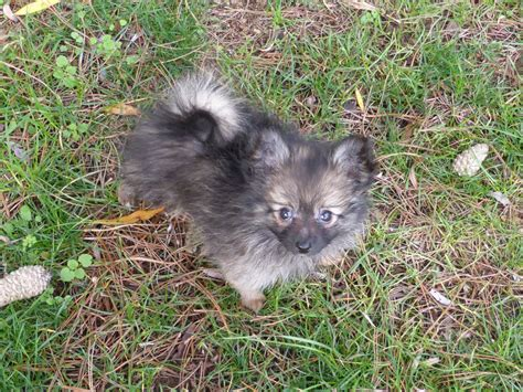 pomeranian x papillon ready now pomeranian x papillon beautiful nature carterton oxfordshire pets4homes