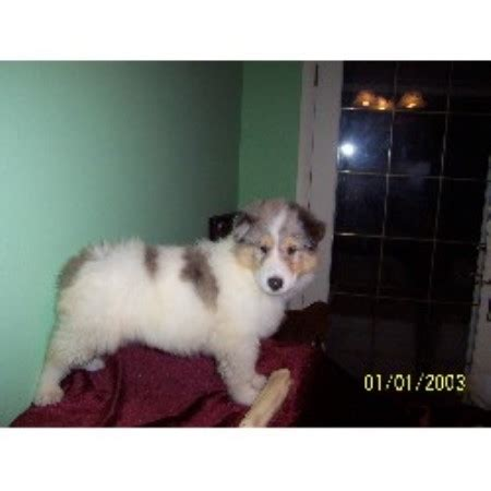 yorkie puppies for sale clearwater fl sunshadowcollies collie breeder in clearwater florida