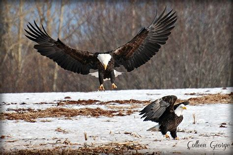 Foot Detox Eagles Landing 25 best ideas about bald eagle wingspan on