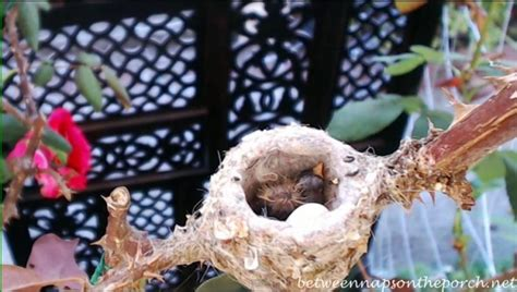 phoebe the hummingbird takes care of her babies