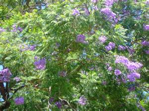 Flowering Oleander - arizona flowering trees scape tech landscaping amp design