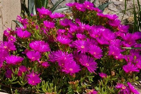 pianta grassa con fiori piante grasse con fiore consigli per la coltivazione