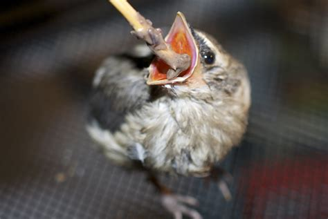 the myth surrounding baby songbirds huffpost