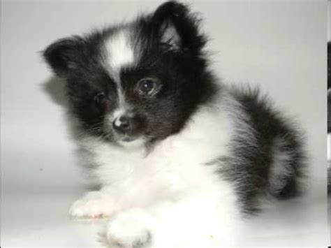 pomeranian facts teacup pomeranians and teddy puppies for sale