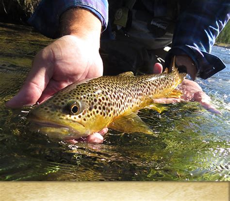 brown boat r yellowstone our western trip summary r and r fly fishing