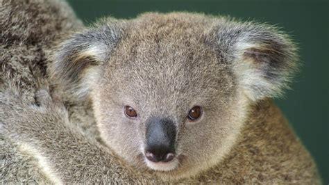 wallpaper iphone koala koala full hd wallpaper and background 1920x1080 id 431601