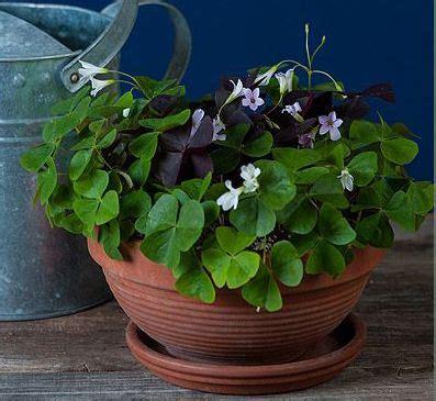 mixed oxalis  balcony bowl  images indoor flower