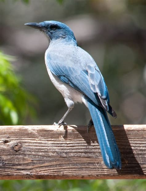 california blue jay bird jay geai pinterest