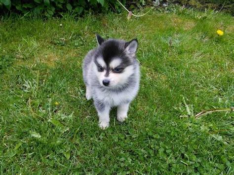 pomsky puppies for adoption sweet looking pomsky puppies ready now for sale adoption in singapore adpost
