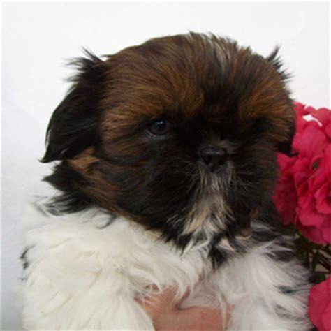 fotos de perros shih tzu miniatura venta de perros cachorros de raza shih tzu spaceanimals autos weblog