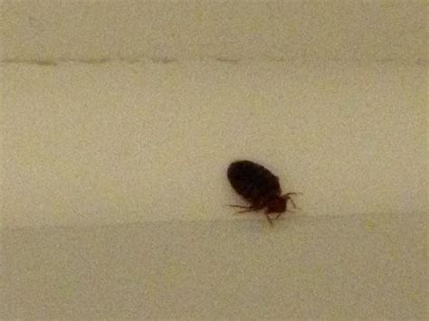 bed bugs in ohio bed bug picture of fairfield inn lima lima tripadvisor