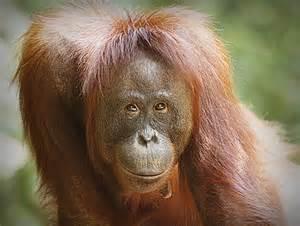Orangutan orangutan green tours the wildlife and green tours in