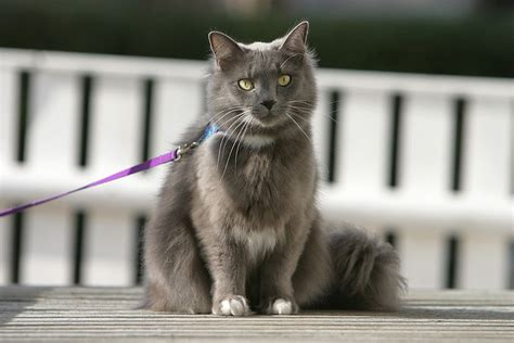 how to an on a leash 5 practical tips for how to a cat on a leash