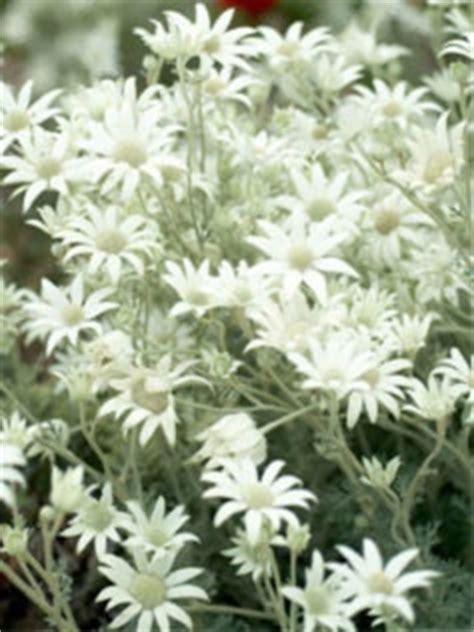 Sun Flowers Flanel 1762 best images about australian plants on gardens australian