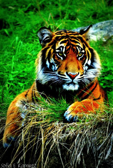 wallpaper iphone 6 tiger iphone 4 wallpaper tiger by sofiaeramirez on deviantart