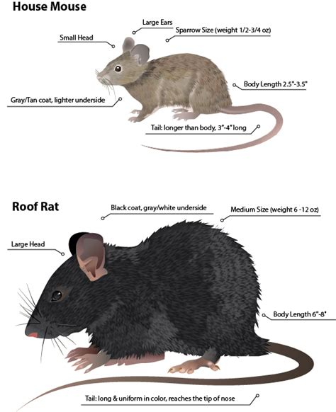 image result for rats vs mice rodents of unusual size