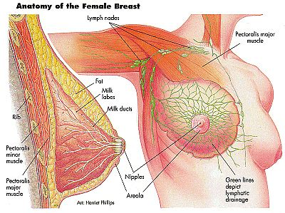diagram of the breast anatomy and physiology of mammary glands breast