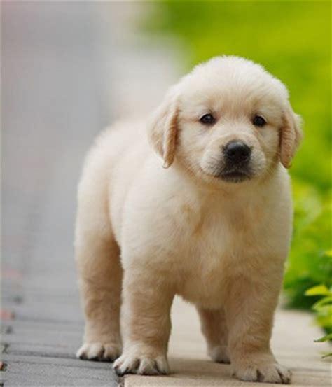 type golden retriever golden retriever stor hunderase fra storbritannia