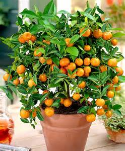 Edible Winter Flowers - buy a container plant now calamondin calamondin