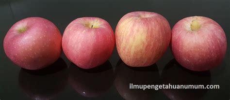 groundhog day vidzi manfaat dan khasiat buah apel 28 images buah buahan