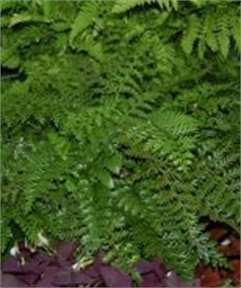 zone 10 shade plants new house fern garden pinterest