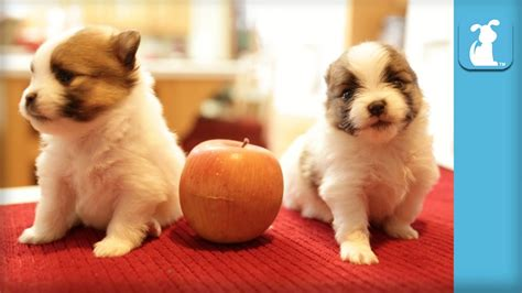 pomeranian puppies at 2 weeks 2 week pomeranian puppies as small as apples puppy