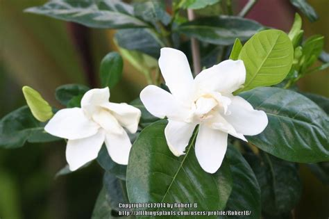 Gardenia Veitchii Pruning Gardenias Plant Care And Collection Of Varieties Garden Org