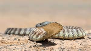 Snakes In Mainland Tiger Snake Habitat Diet Reproduction Nsw