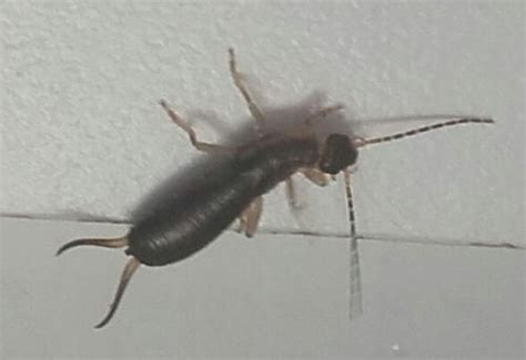 Insectes Dans La Cuisine by Insecte Fin Avec De Longues Antennes Dans Cuisine Le