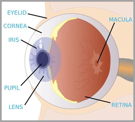 eyeball diagram labeled priseaden eye diagram labeled