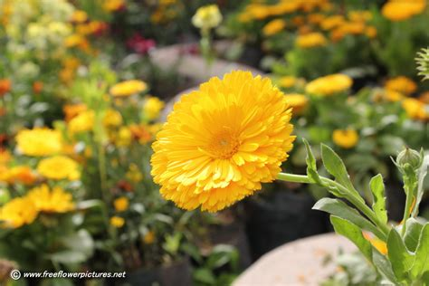 flower picture calendula flower picture flower pictures 435