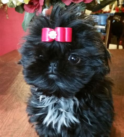 black shih tzu puppies for sale buy top quality chion sired shih tzu puppies for sale