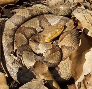 Garter Snake Vs Copperhead The 10 Most Commonly Seen Snakes In Dc Metro Area